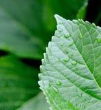 Waterdruppeltjes op een weelderig blad Stock Afbeeldingen