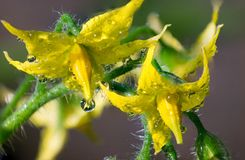 Waterdruppeltjes op gele tomatenbloemen stock foto's