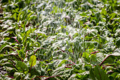 Watered beetroots field in the spring Stock Images