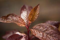 Watered Japanese Plum Tree Slip Leaves Stock Image