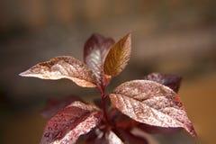 Watered Japanese Plum Tree Slip Leaves Royalty Free Stock Image