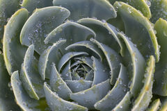 Watered Succulent Royalty Free Stock Image