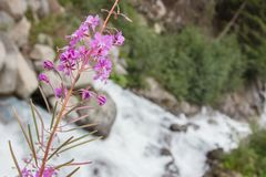 Waterfall in the Austrian Alps - Selective focus on flower stock photography
