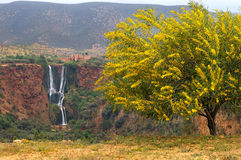 Waterfall d'Ouzud, Morocco. View on the waterfall d'ouzud with a yellow flowering tree in a foreground Royalty Free Stock Images