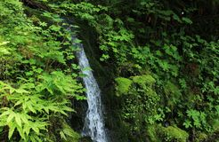 Waterfall in a Fern Filled Forest. A small waterfall in a green, fern-filled forest Stock Photo