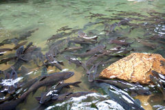 Waterfall fish. Soro brook carp waterfall fish Stock Image
