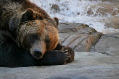 Tired Grizzly Bear Lies Down on Rock stock photography