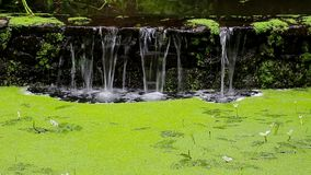 Waterfall in forest and marsh duckweed. Waterfall in a forest and marsh duckweed stock video footage