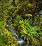 Waterfall in Lush Temperate Rainforest Stock Images
