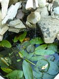 Waterfall with pond and pond lilies. Water feature with rocks, driftwood, pond, water lily leaves and white and yellow water hawthorne aponogeton distachyos royalty free stock image