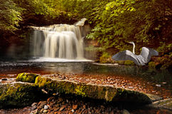 Waterfall at West Burton. A heron visits the waterfall at West Burton in the Yorkshire Dales, England Stock Image