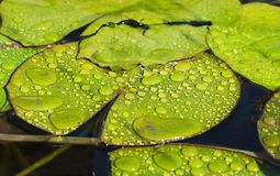 Waterflora royalty-vrije stock foto