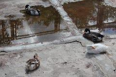 waterfowl Foto de Stock