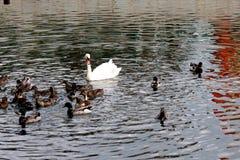 waterfowl Imagem de Stock
