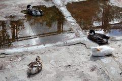 waterfowl Fotografia de Stock Royalty Free