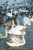 Waterfowl Stock Images