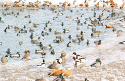 Waterfowl Stock Image