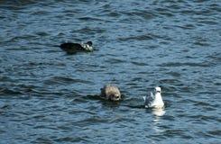 waterfowl royaltyfri fotografi