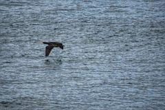 waterfowl royaltyfria bilder