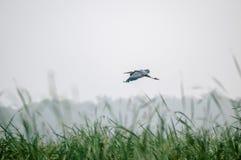 waterfowl Zdjęcia Stock
