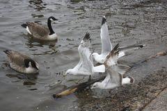 waterfowl images libres de droits
