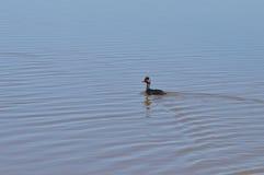 waterfowl Fotografia Royalty Free