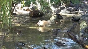 Waterfowl birds. Many ducks. Wild ducks