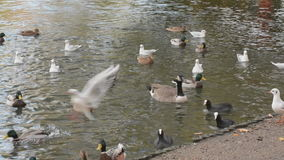 Waterfowl chuckling, clucking and screeching stock footage