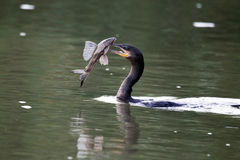 Waterfowl (cormorant) swims with fish Stock Photography
