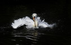 Waterfowl curly white Pelican floating on the dark lake and spla Stock Photography