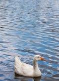 Waterfowl  a Drift Royalty Free Stock Photos