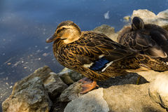 Waterfowl duck brown with blue plumage on wings stands on a stone. Against the background of water Stock Image