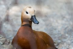 Waterfowl. Duck with brown plumage. Waterfowl. Duck with brown plumage and black beak. Closeup Stock Image