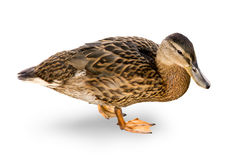 Waterfowl duck on a white background. Royalty Free Stock Photos