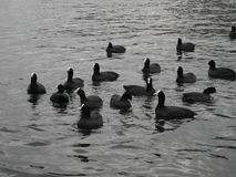 Waterfowl. A flock of waterfowl birds royalty free stock images