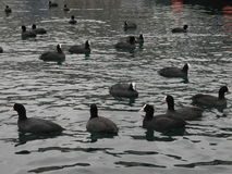 Waterfowl. A flock of waterfowl birds Royalty Free Stock Photos