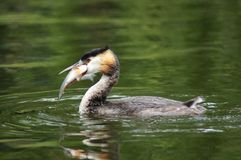 WATERFOWL - Great Crested Grebe Royalty Free Stock Photos