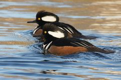 WATERFOWL - Hooded Merganser / Tracz Kapturnik Stock Image
