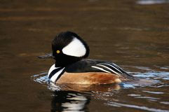 WATERFOWL - Hooded Merganser / Tracz Kapturnik Royalty Free Stock Photography