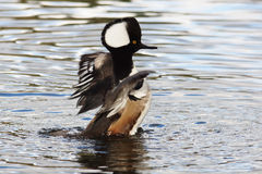 WATERFOWL - Hooded Merganser / Tracz Kapturnik Royalty Free Stock Image