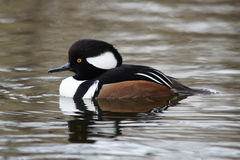 WATERFOWL - Hooded Merganser / Tracz Kapturnik Stock Photos