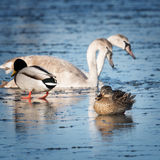 Waterfowl on the ice Stock Photography