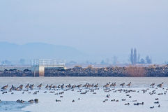 Waterfowl at Icy Reclamation Basin. Many waterfowl birds, ducks, geese at a reclamation pond in winter with the town in the background.rn royalty free stock images