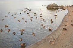 Waterfowl kongregacja Na Gunflint jeziorze Obrazy Royalty Free