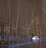 Waterfowl - Mallard Duck - Anas platyrhynchos. A male Mallard Duck (Anas platyrhynchos) on a lake in Wales Royalty Free Stock Image