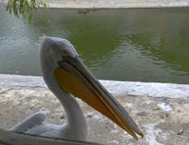 Pelican. Waterfowl are not a systematic definition of birds leading a water lifestyle Stock Photos