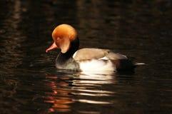 WATERFOWL - Red-crested Pochard / Hełmiatka Royalty Free Stock Photography