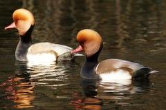 WATERFOWL - Red-crested Pochard / Hełmiatka Royalty Free Stock Photos