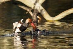 WATERFOWL - Red-crested Pochard / Hełmiatka Stock Photo
