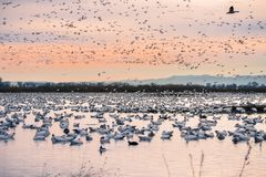 A flock of snow geese taking over the ponds of Sacramento National Wildlife Refuge during migration season, California. Waterfowl on the restored marshes of royalty free stock image